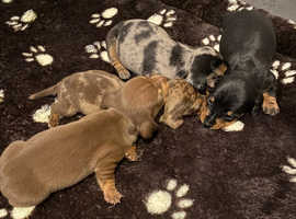 Miniature smoot-haired dachshund puppys