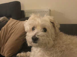 Small dog wanted for company for our bishon westy we are a loving family.