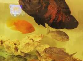 Pair or red belly piranhas 6 inch