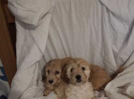 Adorable F1 miniature Cockapoo Puppies