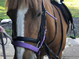 14.1hh Safe Family Pony