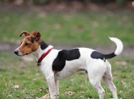 Jack Russel pup wanted.