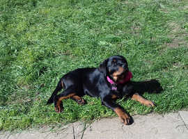 Kc registered rottweiler girl puppy