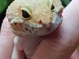 2 Yr old Gecko