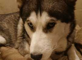 Husky puppies for sale (700) not kc registered
