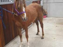 Welsh b yearling filly