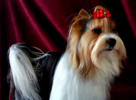 Biewer Yorkshire Terrier for stud