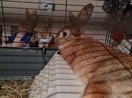 Brown male rabbit