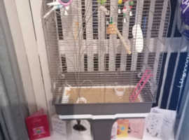 Male budgie with cage and stand