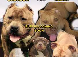 American Bullie pups coming soon