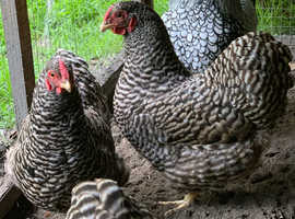 Barred Wyandotte hens