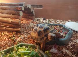 Georgous horsefield tortoise