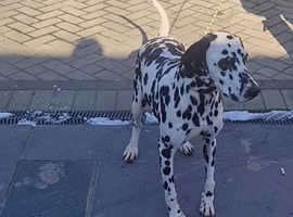 Husband & wife Dalmatians For Sale