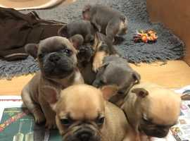 RARE Blue Eyed KC Reg/Health Tested Frenchbulldog