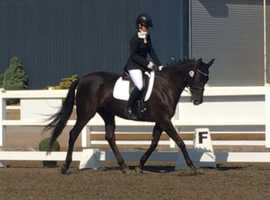 Fun allrounder/dressage horse
