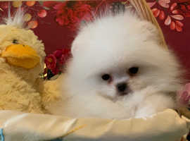Stunning Super Tiny White Pomeranian Girl For Sale