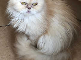 GORGEOUS SQUASHED-FACED FEMALE PERSIAN
