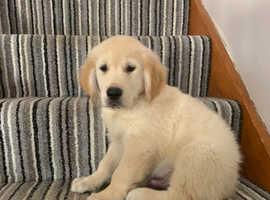 Only 1boys left kc reg golden retriever puppies for sale