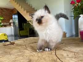 AMAZING BIRMANS KITTENS / FPL