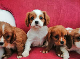 Beautiful Home bred Cavalier King Charles Puppies