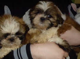 Stunning shih tzu puppies