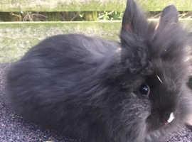 Male lionhead rabbit 16 weeks