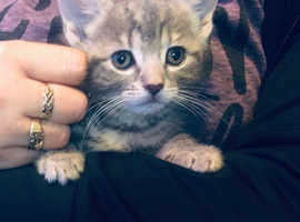 Beautiful bsh x kittens for sale