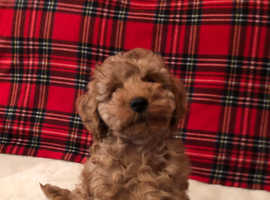 Kc reg Miniature Poodle puppies