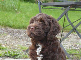 Wanted Chocolate female cockapoo for family home