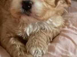 Cavapoo Have you seen this pup