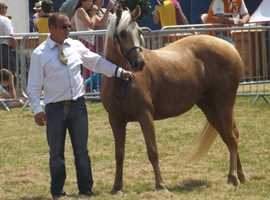 Beautiful Palomino Part breed Welsh section D Mare