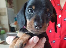 Mini smooth hair Black and Tan dachshunds