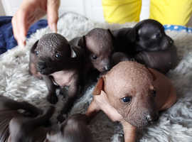 Mexican Hairless  (xolo) puppies miniature
