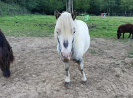 Pure black pintaloosa stallion
