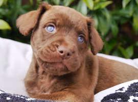Chesa - Bull - Doodles for sale (Unique Puppies)