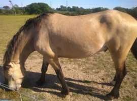 Dun Welsh Section D 14.2 hh 4 years old