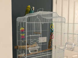 2 male budgies