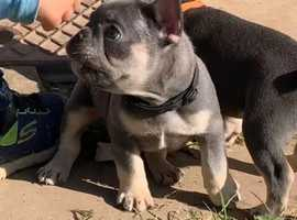 french bulldog puppies for sale cheap