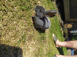 Mini rex boys bunnies for sale