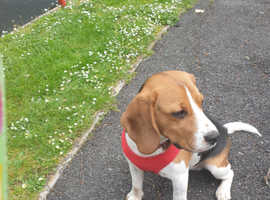 PURE BEAGLE 8 MONTHS OLD