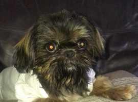 Imprial Shih Tzu Puppy