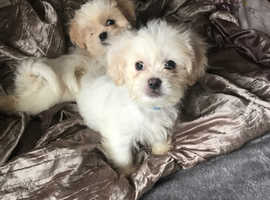 Beautiful shitzu puppies for sale
