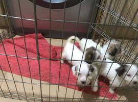 Sealyum terriers