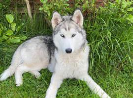 Husky called winter-iris