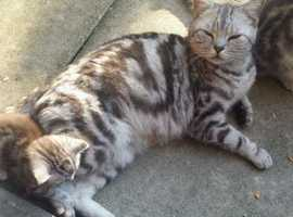 Gorgeous silver tabby female kitten for sale