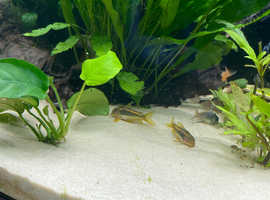 Corydoras gold laser breeding group