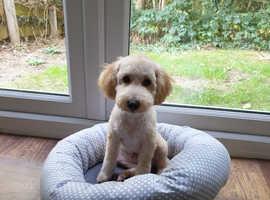 Toy Poodle boy