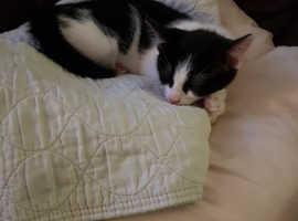 Beautiful petite female kitten