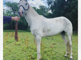 15hh 6year old Mare