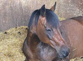 Beautiful 15hh mare
